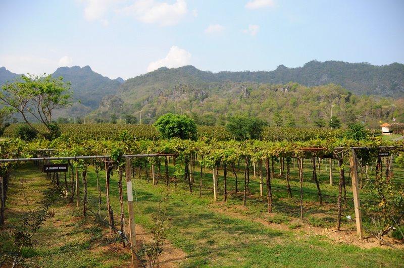 Wineyard Thailand Vin i Thailand – prøv noe annet enn Singha øl